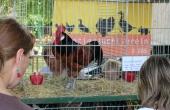 Hahn vom Kleintierzuchtverein Chorin