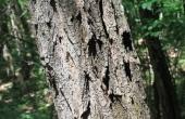 acacia-87529_640