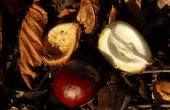 chestnut-60384_640