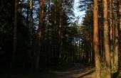 pine-54698_640