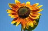 sunflower-105113_640