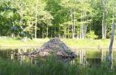 beaver-82842_640