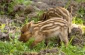 braun-haar-babyfell-niedlichen-schwein-wildschwein-gras_121-71662