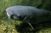 channel-catfish-86584_640