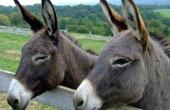 donkeys-105718_640