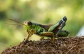 grasshopper-63174_640