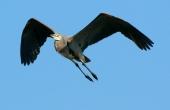 great-blue-heron-60145_1280