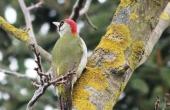 green-woodpecker-92610_640