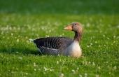 greylag-goose-63088_640