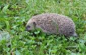hedgehog-57902_640