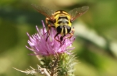 hoverfly-87603_640
