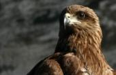 indian-eagle_2911971