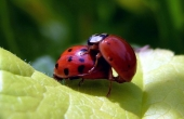 ladybug-94101_640