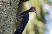 pileated-108323_640
