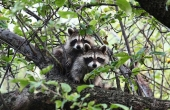 raccoon-19518_1280