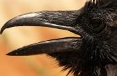 raven-4590_640