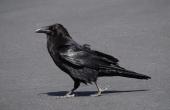 raven-98244_640