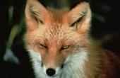 red-fox-86616_640