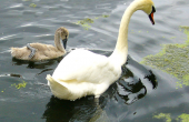 swan-and-cygnet-57426_640