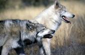 wolfe_216792