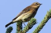 yellow-rumped-warbler-86626_640